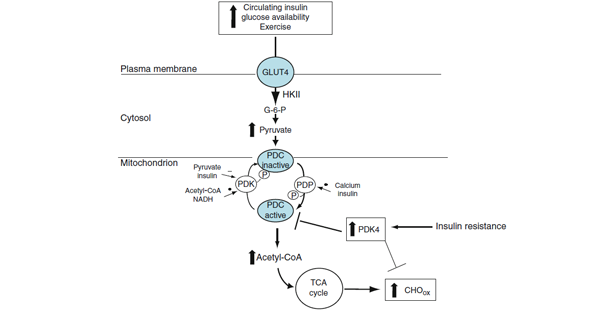 Exercise And Hyperinsulinemia Stimulate Glucose Uptake In Skeletal